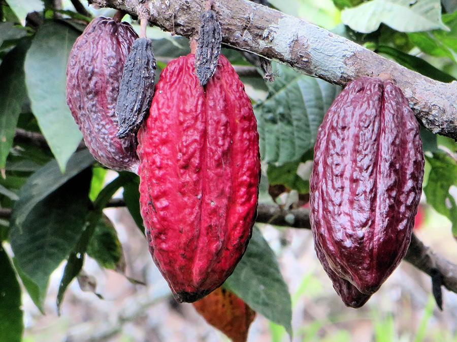 este cacao crud bun pentru pierderea in greutate)
